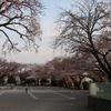 近くの公園の桜はあと2,3日で満開です^^