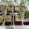 4種のケール・ベビーリーフの水耕栽培