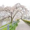 鴨川の桜と鷺と鴨。