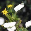 今日の誕生花「コンロンカ」熱帯アジア 熱帯アフリカ原産の小さな黄色の花!