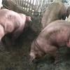 遺伝子組み換え豚