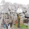 平野神社の魁桜。
