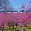 『古河 桃まつり』桃源郷とも称される桃林!駐車場、住所、開花状況など情報まとめ