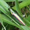 Jewel beetle: Beautiful rainbow-colored insect