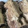 オオクワガタ:孵化の木屑を確認