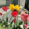 【チューリップ畑計画⑧】開花後の処理について〜来年も花を咲かせるために今すべきこと〜