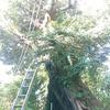 崖途中の大木の枝降ろし断幹 1日目 枝歩き