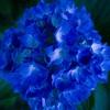 【新潟写真】五十公野公園 紫陽花 2020年6月21日