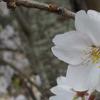 春を告げるホンモロコ★琵琶湖