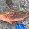堤防アコウ釣りは時期とポイントが重要!激熱な時合いの釣り方!