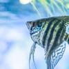 マクロレンズで熱帯魚撮影
