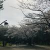 桜、麗し🌸
