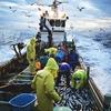 【知らなかった】全盛期の1%未満/国産ニシン漁獲量/消費者が出来ることは?