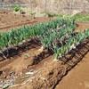 3月14日、本日の畑仕事記録、土砂降りの次の日。