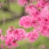 倒れても咲く桃の花