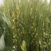 小麦の花懸け