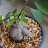 【ガジュマル】プラ鉢に植え替え直しました!最近プラ鉢がお気に入り。