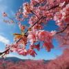 札幌でしか味わえない、桜前線が迫ってくるワクワク感。