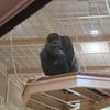 【混雑】東山動植物園の新施設にイケメンゴリラのシャバーニが帰ってきた!周辺駐車場やランチは?グッズも豊富【紅葉】