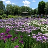 葛飾の水元公園で花菖蒲、杜若、紫陽花…、初夏の花と緑を見に行く散歩