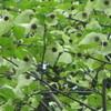 ハンカチの木開花
