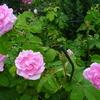 暑さに花びらが強いって、なにげにうれしいです