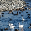 犀川白鳥湖2