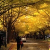 黄金のトンネルにため息☆北海道大学イチョウ並木