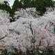 樹木公園130品種の桜