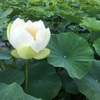 Lotus flower again   蓮の花・再び
