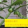 【食育】栽培初心者でも今日から始められる!ミニトマトとバジル育ててみた!
