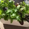 リーフレタスとはやどりチンゲンサイ葉物野菜