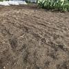 春夏野菜専用エリアに播種したエンバクが発芽しました(リアル)