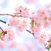 大寒桜⑥ インコ帝国の逆襲(笑)