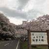 いや!まだまだ観たい!今観れる!関西の桜!