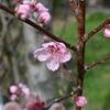 桃の花(スポーツ大好きOZ)