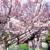 CycleGANで普通の木を満開の桜にする