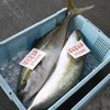2017年7月24日 小浜漁港 お魚情報