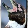 【フンボルトペンギン】
