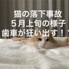 猫の落下事故5月上旬ラテちゃんの歯車が狂いだす!?前日の様子について
