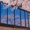 咲き進むいたち川べりの桜