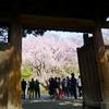 六義園「しだれ桜」と巣鴨散歩 '20.03.22