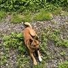 夏の手白澤温泉宿泊記 ニホンオオカミの血を引く川上犬のガクに会いに行ってきた