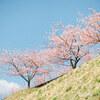 河津桜と青い空 #filmphotography