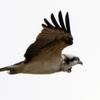 利根川上空を飛ぶミサゴ