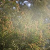 メディカルハーブセラピストがオススメする花粉症によいハーブ3選&ブレンド