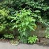 ヨウシュヤマゴボウ 脇芽を伸ばす