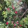 エデンのお庭に、可愛いお花が🌹