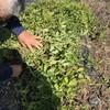 実家の畑で、ジャンボピーナツ掘りしました♪ 10月25日