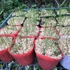 """畑からこんにちは!😃 211011   """"冬を前に発芽する野菜たち🌱👍"""""""